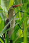Tarabusino  (maschio)  Ixobrychus minutus , Svizzera.   Info ; Nikon D3S + 500mm f4 Nikon a f 6.3 1/2500 a ISO 1250