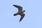 Falco pellegrino (femmina) Falco peregrinus , Svizzera .  Info; Nikon D3S + 500mm f4 Nikon + TC1,7 Nikon a f/6.7  1/3200 a ISO 1250