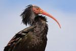 Ibis eremita  Geronticus eremita , Orbetello , Italia.   Info ; Nikon D2X + 300mm f2.8 Nikon a f8 1/750 a ISO 250