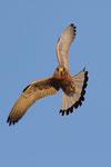 Grillaio maschio , Falco naumanni , Estremadura , Spagna.   Info ; Nikon D3S + 500mm f4 Nikon + TC1,7 Nikon a f7.1 1/2000 a ISO 1600