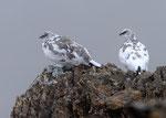 Perini bianche ( 2 maschi in  livrea autunnale ) Lagopus muta , Grigioni , Svizzera .  Info ; Nikon D3S + 500mm f/4 Nikon + TC1,4 Nikon a f/10 1/800 a ISO 1250