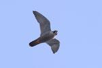 Falco pellegrino (femmina) Falco peregrinus , Svizzera . Info ; Nikon D3S + 500mm f4 Nikon + TC1,7 Nikon a f/6.7  1/3200 a ISO 1250