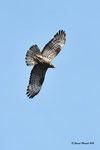 Falco pecchiaiolo ( maschio ) Pernis apivorus , Valle di Muggio , Svizzera .  Info ; Nikon D810 in DX 1,5 + 500mm f/4 Nikon a f/9  1/4000 a ISO 1000