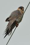 Falco cuculo (giovane maschio)  Falco vespertinus , Gudo , Svizzera.   Info ; Nikon D3S + 500mm f4 Nikon + TC1,7 Nikon a f7.1  1/1000 a ISO 1600
