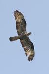 Pecchiaioli  Pernis , Falco pecchiaiolo (maschio) Pernis apivorus , Valle di Muggio , Svizzera.   Info ; Nikon D3S + 500mm f4 Nikon + TC1,7 Nikon a f6.7 1/2500 a ISO 800
