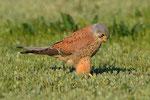 Gheppio maschio  Falco tinnunculus , Camargue , Francia .  Info ; Nikon D3S + 500mm f4 Nikon + TC1,4 Nikon a f8 1/1600 a ISO 800