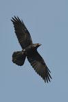 Corvo imperiale Corvus corax , Castel San Pietro , Ticino , Svizzera .  Info; Nikon D3S + 500mm f/4 Nikon  + TC1,4 Nikon a f/6.3 1/2000 a ISO 800
