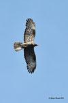 Falco pecchiaio ( maschio ) Pernis apivorus , Valle di Muggio , Svozzera.  Info; Nikon D810 in DX 1,5 + 500mm f/4 Nikon a f/9  1/4000 a ISO 1000