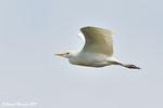 Airone guardabuoi  Bulbucus ibis , Andalusia , Spagna .   Info ;  Nikon D810 + 500mm f/4 Nikon a f/8  1/8000 a ISO 2500