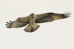 Falco pescatore  Pandion haliaetus , Bolle di Magadino , Svizzera.   Info ; Nikon D3S + 500mm f4 Nikon a f6.7 1/6000 a ISO 800