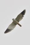 Nibbio bianco  Elanus caeruleus , Alto Algavre , Portogallo.  Info ; Nikon D3S + 500mm f/4 Nikon + TC1,4 Nikon a f/11 1/2000 a ISO 1000 in ripresa DX