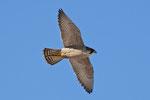 Falco pellegrino (femmina)  Falco peregrinus , Valle di Muggio , Svizzera.   Info ; NIkon D2X + 300mm f2.8 Nikon + TC20E Nikon a f6.3  1/1250 a ISO 400