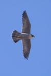 Falco pellegrino (maschio)  Falco peregrinus , Svizzera.   Info ; Nikon D3S + 500mm f4 Nikon + TC1,4 Nikon a f6.3  1/1600 a ISO 1000