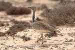 Ubara africana  Chlamydotis undulata , Fuerteventura , Isole Canarie , Spagna .   Info ; Nikon D2X + 300mm f2.8 Nikon + TC20E Nikon a f5.6  1/400 a ISO 100