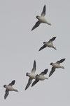 Pesciaiole  Mergellus albellus , Olanda.   Info ; Nikon D3S + 500mm f4 Nikon + TC1.4 Nikon a f5.6 1/8000 a ISO 1600