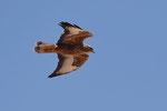 Poiana delle steppe  Buteo buteo vulpinus , Eilat , Israele .  Info ; Nikon D810 + 500mm f/4 Nikon + TC1,4 Nikon a f/7.1 1/5000 a ISO 1250