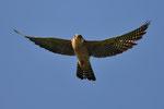 Falco cuculo (femmina adulta)  Falco vespertinus , Gudo , Svizzera.   Info ; Nikon D2X + 300mm f2.8 Nikon a f2.8  1/2000 a ISO 200