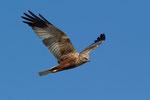 Albanelle  Circus , Falco di palude (maschio) , Circus aeruginosus , Bolle di Magadino , Svizzera.   Info ; Nikon D3S + 500mm f4 Nikon a f6.3 1/4000 a ISO 800