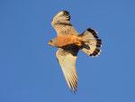 Grillaio maschio  Falco naumanni , Estremadura , Spagna.   Info ; Nikon D3S + 500mm f4 Nikon + TC1,7 Nikon a f7.1  1/1600 a ISO 1600