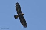 Aquila reale maschio adulto , Valle di Muggio , Ticino , Svizzera .   Info ;  Nikon D810 + 500mm f/4 Nikon a f/8 1/3200 a ISO 1250
