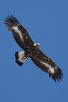 Aquila reale femmina subadulto 2 anno  Aquila chrysaetus ,  Svizzera.   Info ; Nikon D2X + 300mm f2.8 Nikon + TC20E Nikon a f5.6 1/800 a ISO 350
