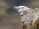 Pernice bianca ( maschio in livrea autunnale ) Lagopus muta , Grigioni , Svizzera . Info ; Nikon D3S + 500mm f/4 + TC1,4 Nikon a f/9 1/320 a ISO 800