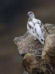 Pernice bianca ( maschio in livrea autunnale ) Lagopus muta , Grigioni , Svizzera . Info; Nikon D3S + 500mm f/4 Nikon + TC1,4 Nikon a f/10 1/500 a ISO 800
