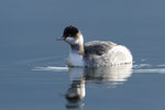 Svasso piccolo ( in piumaggio invernale ) Podiceps nigricollis , Lago Ceresio , Ticino , Svizzera.  Info; Nikon D3S + 500mm f/4 Nikon + TC1,4 Nikon a f/8 1/400 a ISO 1600.