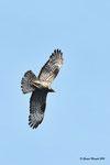 Falco pecchiaiolo ( maschio ) Pernis apivorus , Valle di Muggio , Svizzera .  Info; Nikon D810 in DX 1,5 + 500mm f/4 Nikon a f/9  1/4000 a ISO 1000
