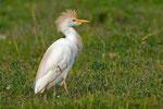 Airone guardabuoi  Bubulcus ibis , Camargue , Francia.  Info ; Nikon D3S + 500mm f4 Nikon + TC1,4 Nikon a f6.3 1/1000 a ISO 800