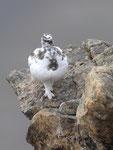 Pernice bianca ( maschio in livrea autunnale ) Lagopus muta , Grigioni , Svizzera. Info; NIkon D3S+ 500mm f/4 Nikon + TC1,4 Nikon a f/10 1/500 a ISO 800