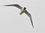Gabbiano comune    Chroicocephalus ridibundus , Islanda .    Info ; Nikon D3S + 500mm f/4 Nikon a f/9  1/2000 a ISO 1600.