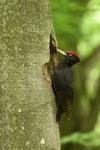 Picchio nero  Drycopus martius  ( maschio ) , Ticino , Svizzera .  Info ;  Nikon D810 + 500mm f/4 a f/7.1  1/100 a  ISO 2000 su cavalletto