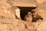 Grillaio ( maschio )  Falco naumanni , Andalusia , Spagna .   Info ;  Nikon D810 + 500mm f/4 Nikon a f/8 1/8000sec a ISO 2500
