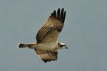 Falco pescatore  Pandion haliaetus , Bolle di Magadino , Svizzera.  Info ; Nikon D3S + 500mm f4 Nikon a f6.7 1/3000 a ISO 800