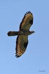Falco pecchiaiolo ( naschio ) Pernis apivorus , Valle di Muggio , Svizzera . Info ; Nikon D810 + 500mm f/4 Nikon + TC1,4 Nikon a f/9  1/1600 a  ISO 2000