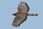 Pecchiaioli  Pernis , Falco pecchiaiolo  (maschio) , Pernis apivorus , Valle di Muggio , Svizzera.   Info ; Nikon D2X + 300mm f2.8 Nikon + TC20E Nikon 1/4000 a ISO 600