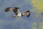 Falco pescatore  Pandion haliaetus , Bolle di Madino , Svizzera.   Info ; Nikon D3S + 500mm f4 Nikon + TC1,7 Nikon a f6.7  1/800 a ISO 1600