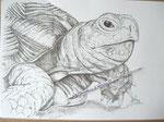 Schildkröte, © Berthold B.Knopp