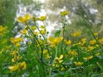 Butterblumen vorm Wald