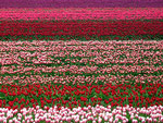 Rote Armee (der Tulpen)