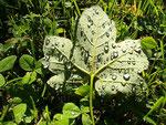 Grünes Taublatt
