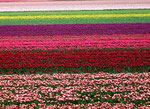 Armee der Tulpen
