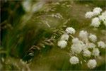 Die Blüte der wilden Möhre wiegt sich im Wind. Bildformat: 3:2
