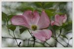 Hartriegel-Blüte. Bildformat: 3:2