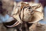 Trockene Rose. Billdformat: 3:2