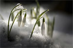 Schneeglöckchen (Galanthus). Bildformat: 3:2