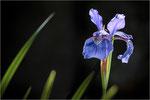 Sibirische Schwertlilie (Iris sibirica) 02. Bildformat: 3:2