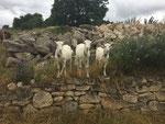 Juli 2017: Mutter Kunigunde ist mittlerweile an Altersschwäche gestorben. Deshalb sind 2 Ziegen dazugekommen, im gleichen Alter und die drei Ziegen - alle im April 2016 geboren - machen jetzt die Koppel unsicher und haben den Spaß ihres Lebens!