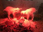 1. März 2018: 4 Kitzen werden am kältesten Tag des Jahres bei minus 16 Grad geboren. Für die nächsten Tage halten sie sich fast ausschließlich unter den Infrarotlampen auf.